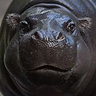 Hippo face by collpics