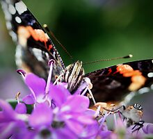 Red Admiral, front view by emmysusanne
