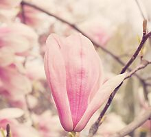 Magnolias by afeimages