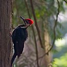 Red Crest in the early morning light... by RichImage