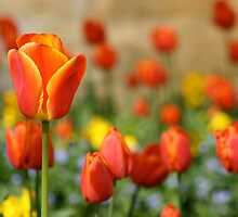 Tulips by Nick Radcliffe