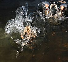 Male and female mallard diving by turniptowers