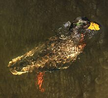 Male mallard surfacing from dive by turniptowers