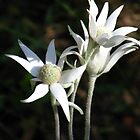Flannel Flowers (Actinotus helianthi) by Marilyn Harris