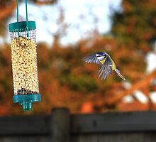 Blue tit flying to feeder in autumn by turniptowers