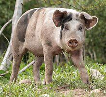 Pig named Sausage by Ryszard  Wozniak