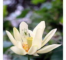 Katydid on Lotus Photographic Print