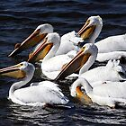 White Pelicans Portrait by Oldetimemercan