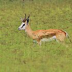 Springbok - Freedom of Color - African Wildlife Background  by LivingWild