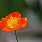 Orange Poppy by autumnwind