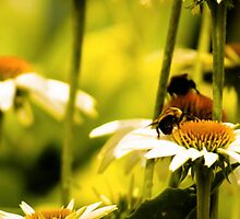 BEES ON WHITE DAISIES by pjm286