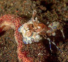 Harlequin shrimp - Hymenocera picta by Andrew Trevor-Jones