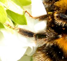 Bee In Peebles Garden Sticker