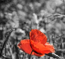 Single Poppy by shardphotos