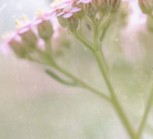 Delicate pink flower on multiple stems emerge from vintage parchment paper. Sticker