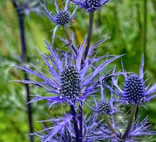 Sea Holly............... by lynn carter