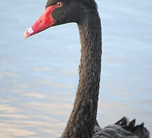 Black Swan 2 by Russell Voigt