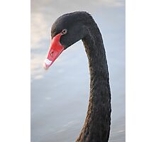 Black Swan 4 Photographic Print