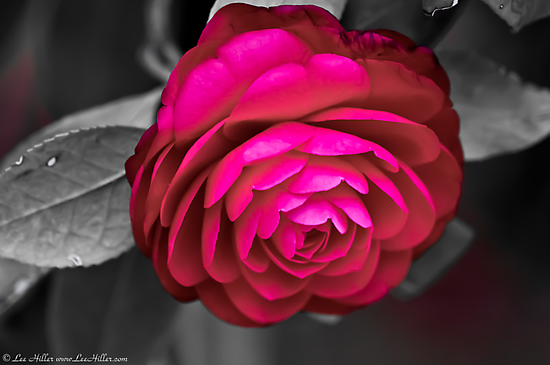 A Rosy Camellia  by Lee Hiller
