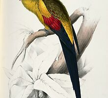 Beautiful Blacktailed Parrot Print by dorcas13