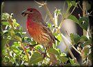 House Finch (Male) Feeding by Kimberly Chadwick