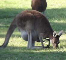 Australian Kangaroo by Lillydale1