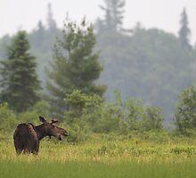 Grassy marsh moose by Jim Cumming