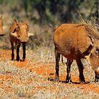 Warthog family by Dan MacKenzie