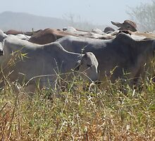 Droving Brahman cattle by Lillydale1