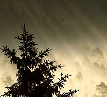 28.6.2014: Spruce Tree, Summer Morning by Petri Volanen