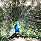 *Gorgeous Peacock - Donegan's Farm by EdsMum