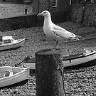 Clovelly Seagull by Neill Parker