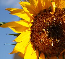Yellow Sunflower with bee by kimberpix