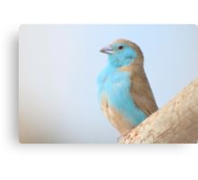 Blue Waxbill - Colorful Wild Birds from Africa Canvas Print