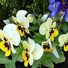 Pansies with Raindrops by BlueMoonRose