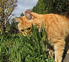 Ginger cat hunting in garden by turniptowers