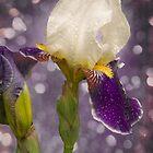 Rain drops Iris by LudaNayvelt
