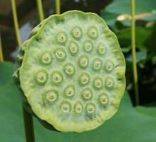 Lotus seed pod by Kelly Morris