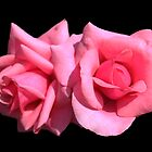 two perfect pink rose flowers in black background.  floral photo art. by naturematters