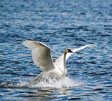 Swan Trail by ThomasNatasha