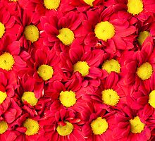 Red Gerbera flowers background by Stanciuc