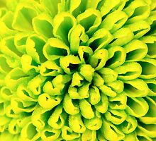 Chrysanthemum green flower closeup, abstract background by Stanciuc
