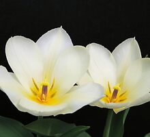 A Pair of White Tulips by Kathleen Brant