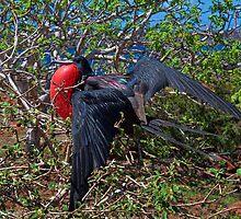 Ecuador. Galapagos Islands. Frigatebird. by vadim19