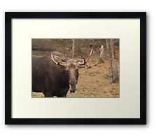 Bull moose in a fall landscape Framed Print