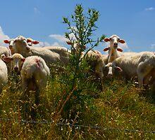 Pecore, Val D'Orcia, Tuscany, Italy by Andrew Jones