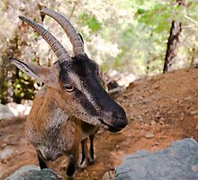 Wild kri-kri goat in Samaria Gorge, Crete, Greece. by Stanciuc