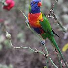 Rainbow Lorikeet by Leanne Davis