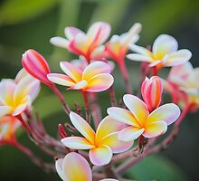 Hot Pink Plumeria tree by Angelina Hills