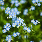 Blue Wildflowers - Forget-me-nots by Christina Rollo